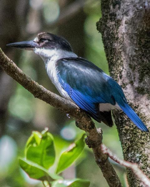Torresian Kingfisher