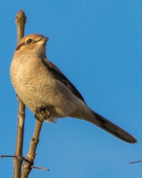 Northern Shrike (American)