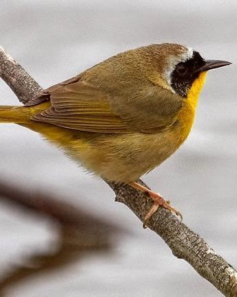 Common Yellowthroat (trichas Group)