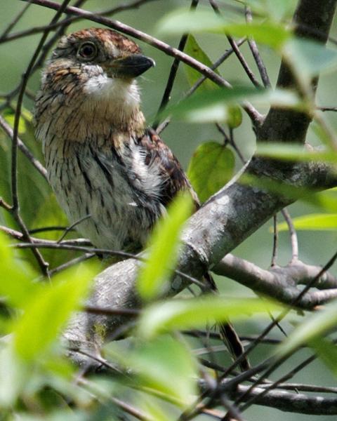 Western Striolated-Puffbird