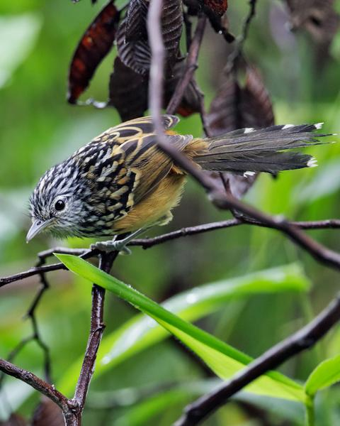 Streak-headed Antbird