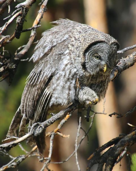 Great Gray Owl (American)