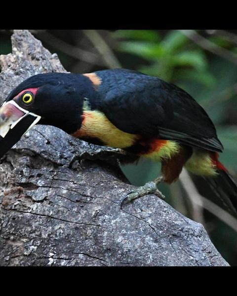 Collared Aracari (Stripe-billed)