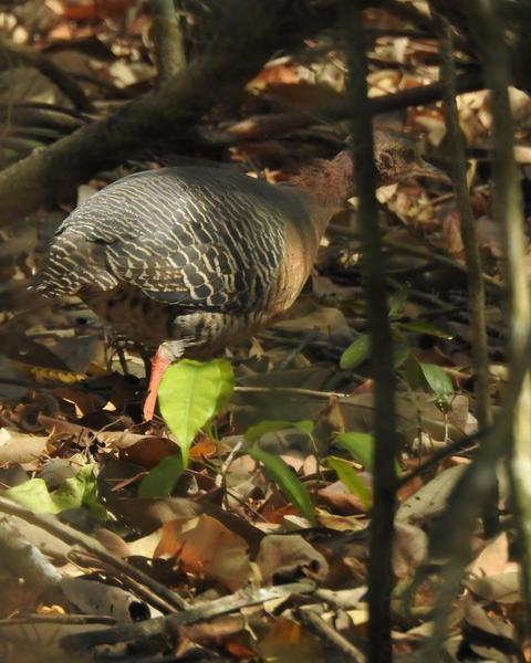 Thicket Tinamou (cinnamomeus Group)