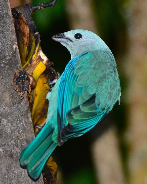 Blue-gray Tanager (Blue-gray)