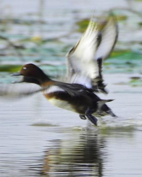 Ferruginous Duck x Baer's Pochard (hybrid)