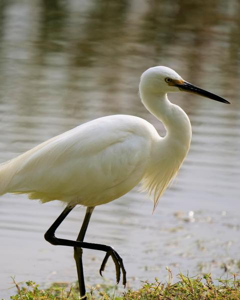 Little Egret (Australasian)