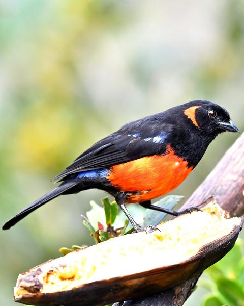 Scarlet-bellied Mountain-Tanager (Scarlet-bellied)