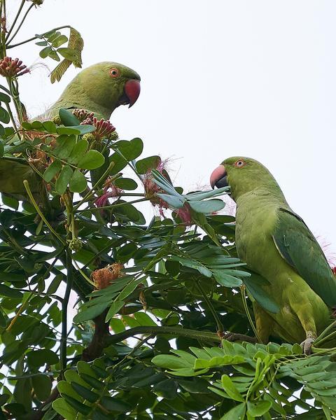 Alexandrine/Rose-ringed Parakeet