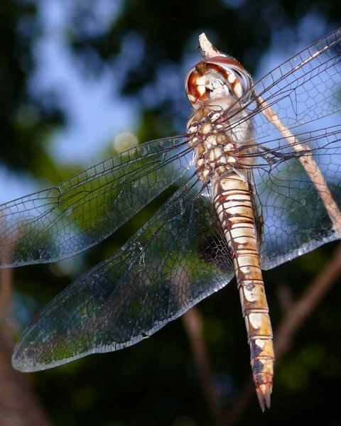 Spot-winged Glider