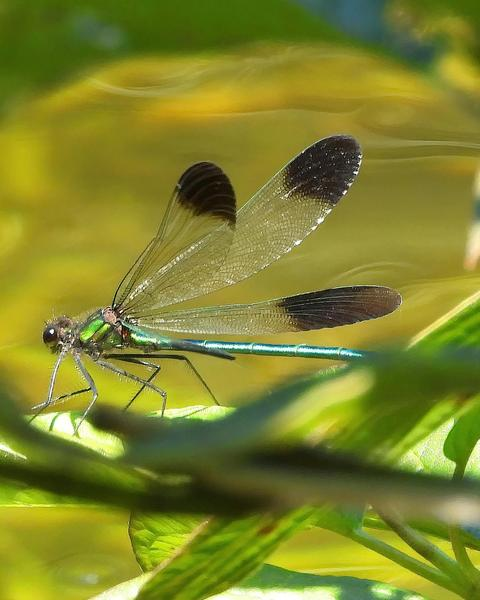 River Jewelwing
