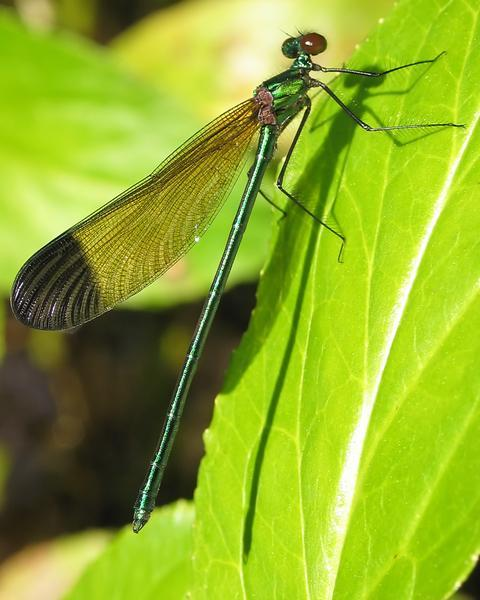 Sparkling Jewelwing