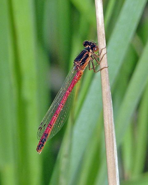 Western Red Damsel