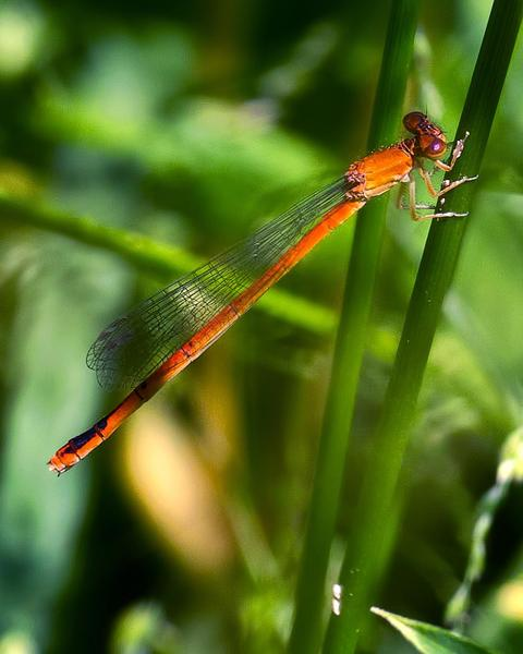 Eastern Red Damsel