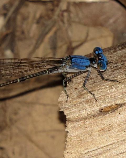 Blue-fronted Dancer