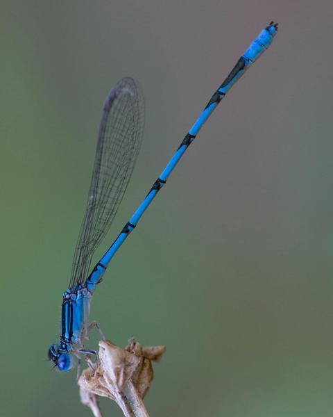 Double-striped Bluet
