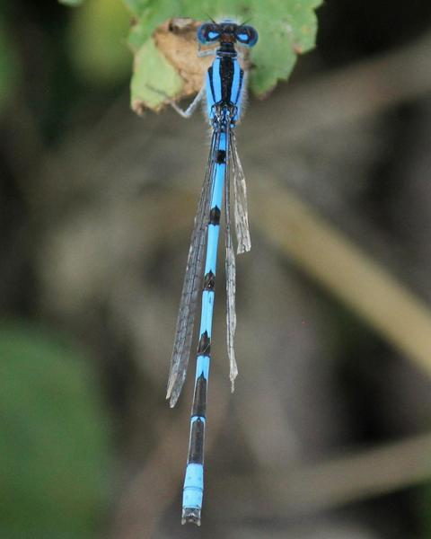 Familiar Bluet