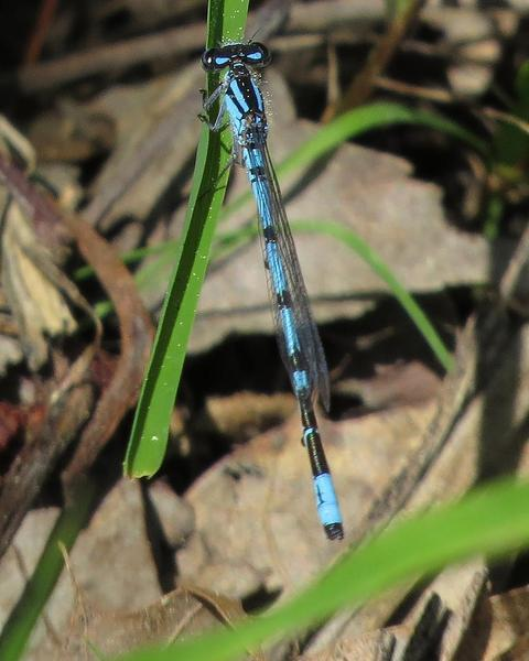 New England Bluet