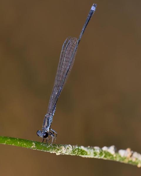 Blackwater Bluet