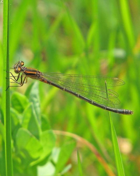 Swift Forktail