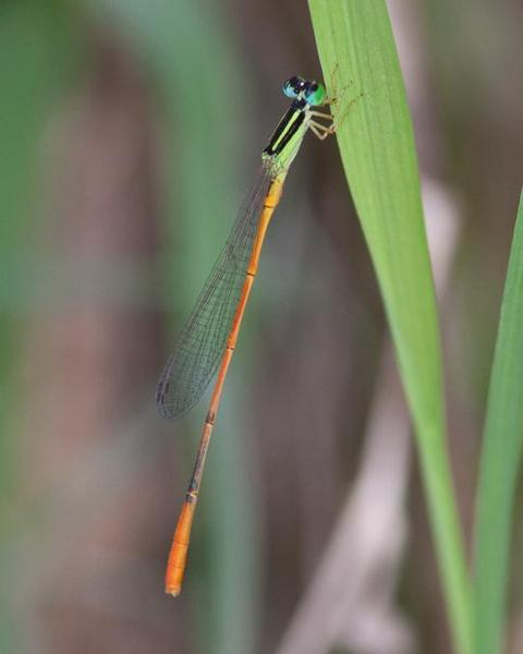 Red-tipped Swampdamsel