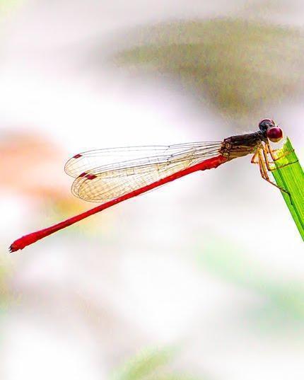 Marsh Firetail