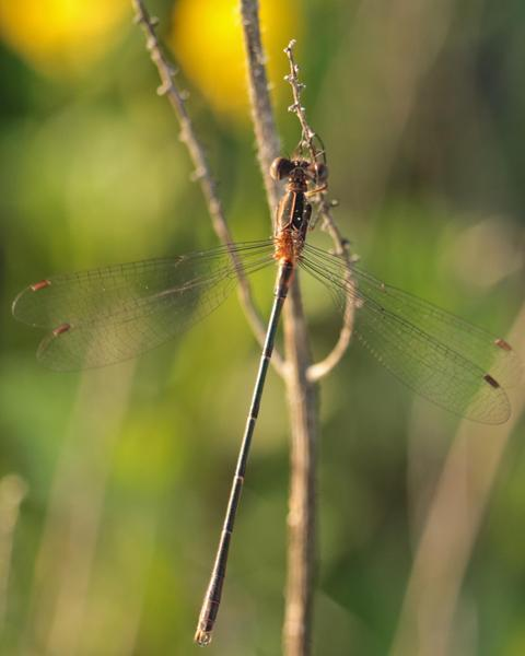 Southern Spreadwing