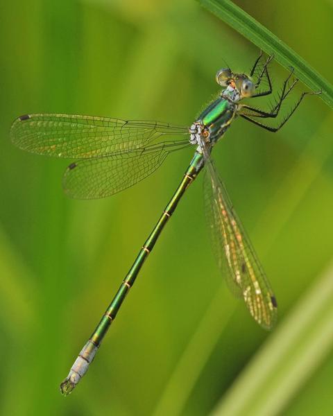 Emerald Spreadwing