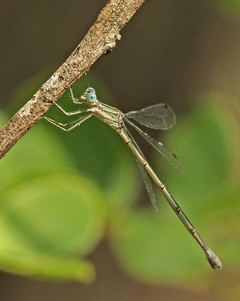 Rainpool Spreadwing