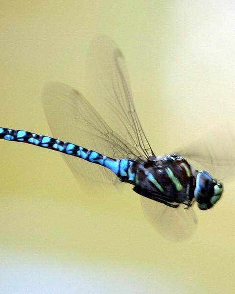 Paddle-tailed Darner
