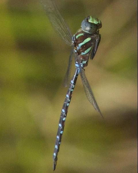 Black-tipped Darner