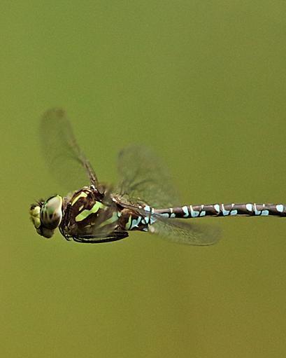 Green-striped Darner