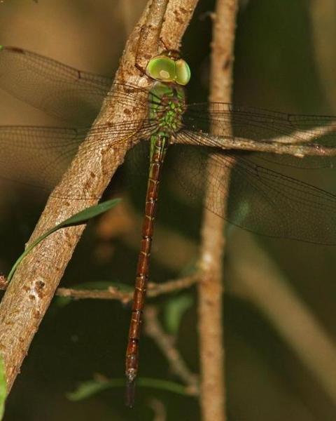 Pale-green Darner