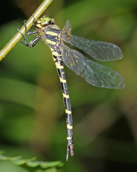 Tiger Spiketail
