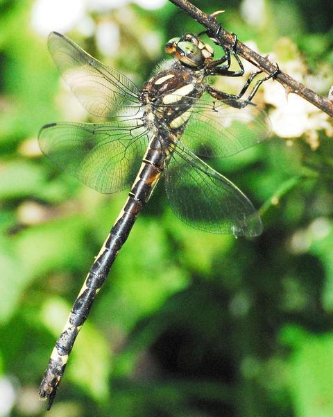 Arrowhead Spiketail