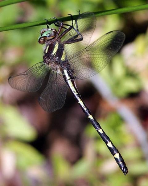 Ouachita Spiketail