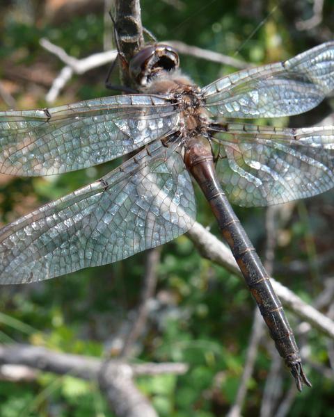 Dot-winged Baskettail
