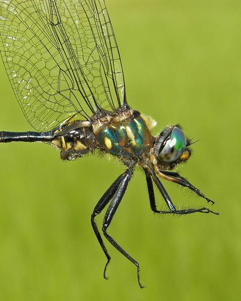 Brush-tipped Emerald