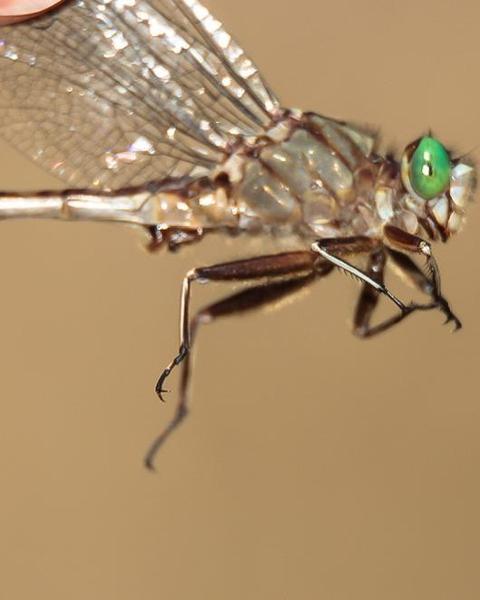Gray-green Clubtail