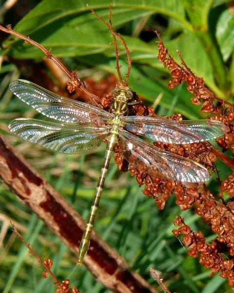 Flag-tailed Spinyleg