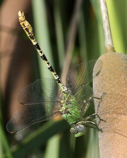 Yellow-legged Ringtail