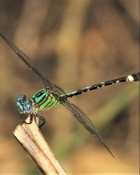 Blue-faced Ringtail