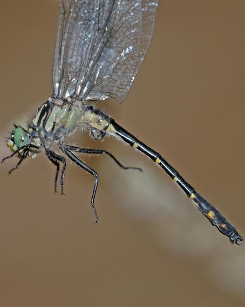 Green-faced Clubtail
