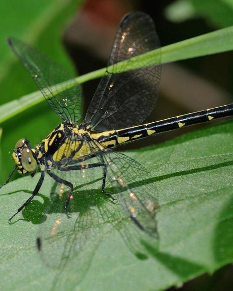 Southern Pygmy Clubtail