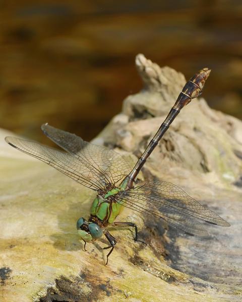 Acuminate Snaketail