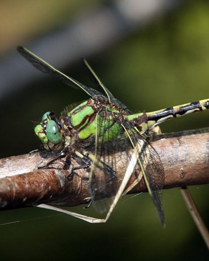Brook Snaketail
