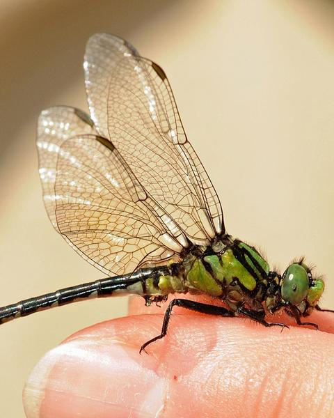 Pygmy Snaketail