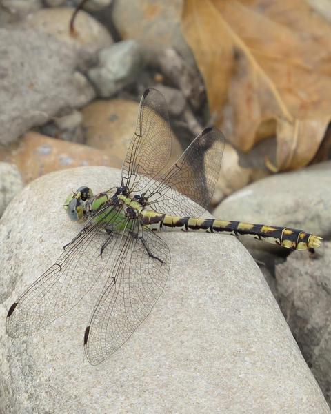 Sinuous Snaketail