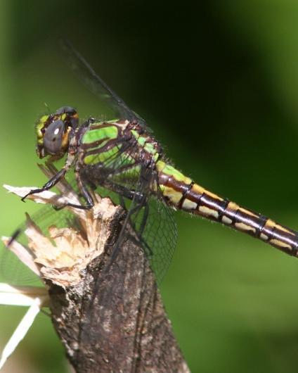 St. Croix Snaketail