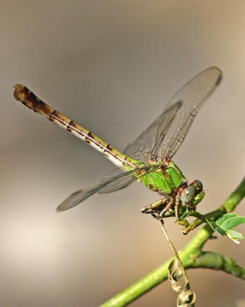 Westfall's Snaketail